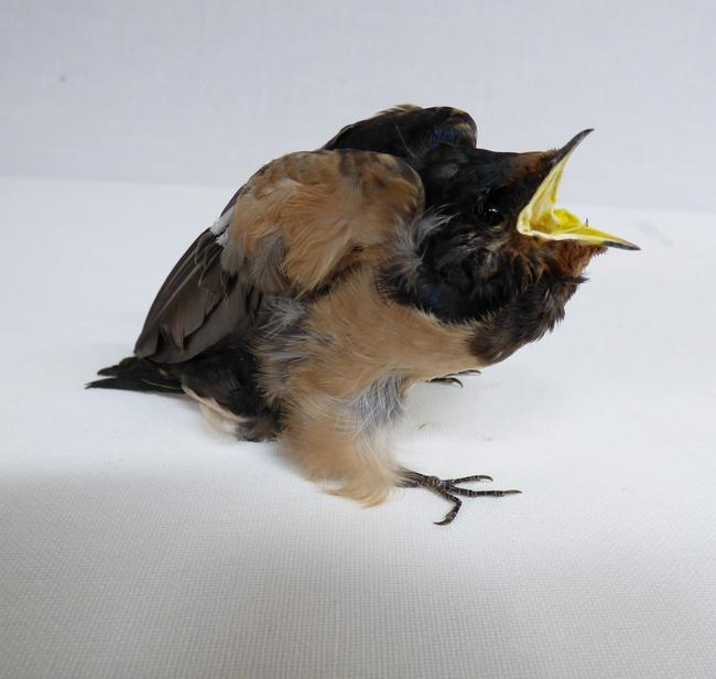 Adrian Johnstone, professional Taxidermist since 1981. Supplier to private collectors, schools, museums, businesses, and the entertainment world. Taxidermy is highly collectible. A taxidermy stuffed Swallow Chick (43), in excellent condition.