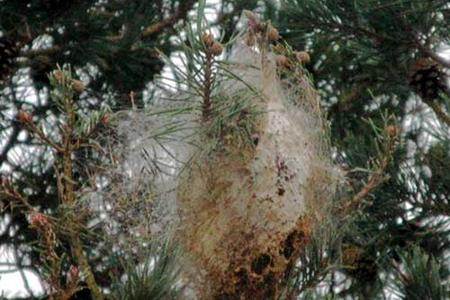 Pine-processionary-caterpillars-web-in-pine-tree-France