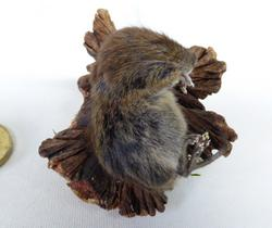 Adrian Johnstone, professional Taxidermist since 1981. Supplier to private collectors, schools, museums, businesses, and the entertainment world. Taxidermy is highly collectible. A taxidermy stuffed Baby Field Vole (11), in excellent condition.