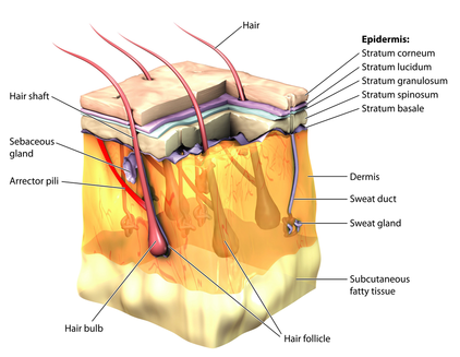 packed dead cells surround these structures and are known as the cuticle  layers of the hair  in the center of these structures lies the medullary  canal