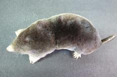 Adrian Johnstone, professional Taxidermist since 1981. Supplier to private collectors, schools, museums, businesses, and the entertainment world. Taxidermy is highly collectable. A taxidermy stuffed adult Mole (23), in excellent condition.