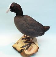 Adrian Johnstone, professional Taxidermist since 1981. Supplier to private collectors, schools, museums, businesses, and the entertainment world. Taxidermy is highly collectable. A taxidermy stuffed adult Coot, in excellent condition.
