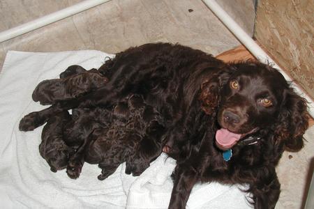 Springer Spaniel Gun Dog Puppies