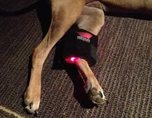 dog leg receiving light therapy