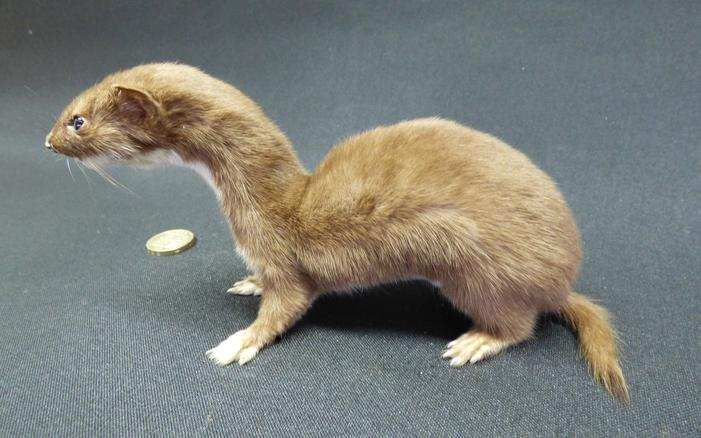 Adrian Johnstone, Professional Taxidermist since 1981. Supplier to private collectors, schools, museums, businesses and the entertainment world. Taxidermy is highly collectable. A taxidermy stuffed free standing adult Weasel (17), in excellent condition.