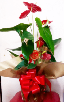 Red Anthurium Gift wrapped plant | Valentine's gifts | The Little Flower shop