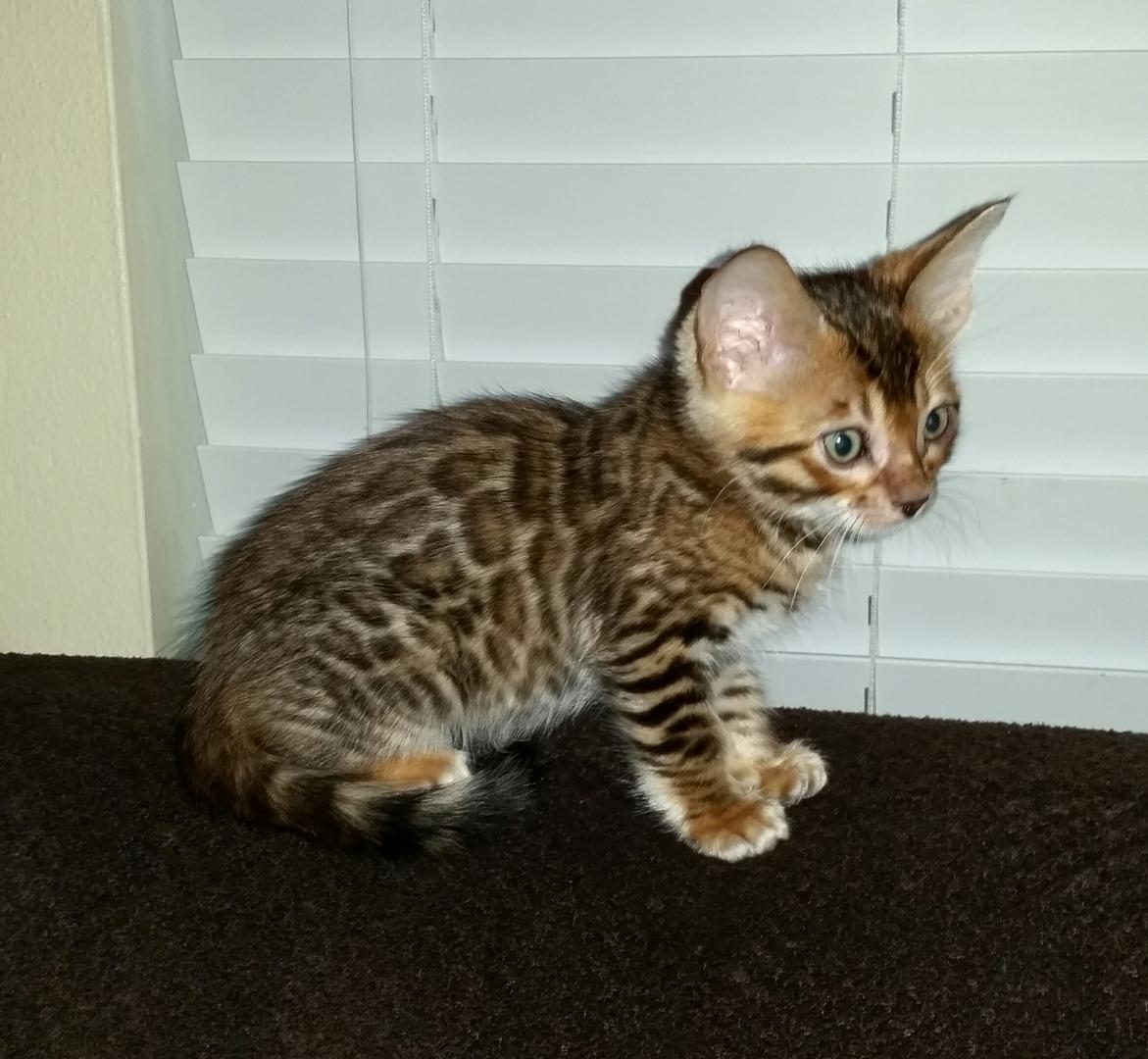 Jungle Cat Bengal in Houston, Tx