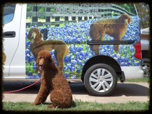dark red standard poodle