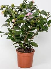 Pink Camelia- Garden plants-the little flower shop florist garden shop garden centre online