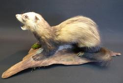 Adrian Johnstone, professional Taxidermist since 1981. Supplier to private collectors, schools, museums, businesses, and the entertainment world. Taxidermy is highly collectable. A taxidermy stuffed adult Polecat (1), in excellent condition.