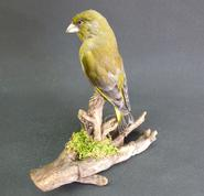 Adrian Johnstone, professional Taxidermist since 1981. Supplier to private collectors, schools, museums, businesses, and the entertainment world. Taxidermy is highly collectable. A taxidermy stuffed Greenfinch (8645), in excellent condition.