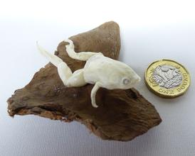 Adrian Johnstone, professional Taxidermist since 1981. Supplier to private collectors, schools, museums, businesses, and the entertainment world. Taxidermy is highly collectible. A taxidermy stuffed Albino African Clawed Frog (58), in excellent condition.