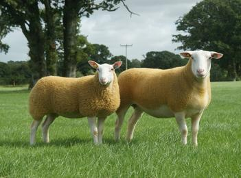 The British Berrichon Sheep Society - Two Berrichon Sheep