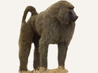 Central African Republic Baboon