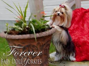 Baby doll parti yorkie adults