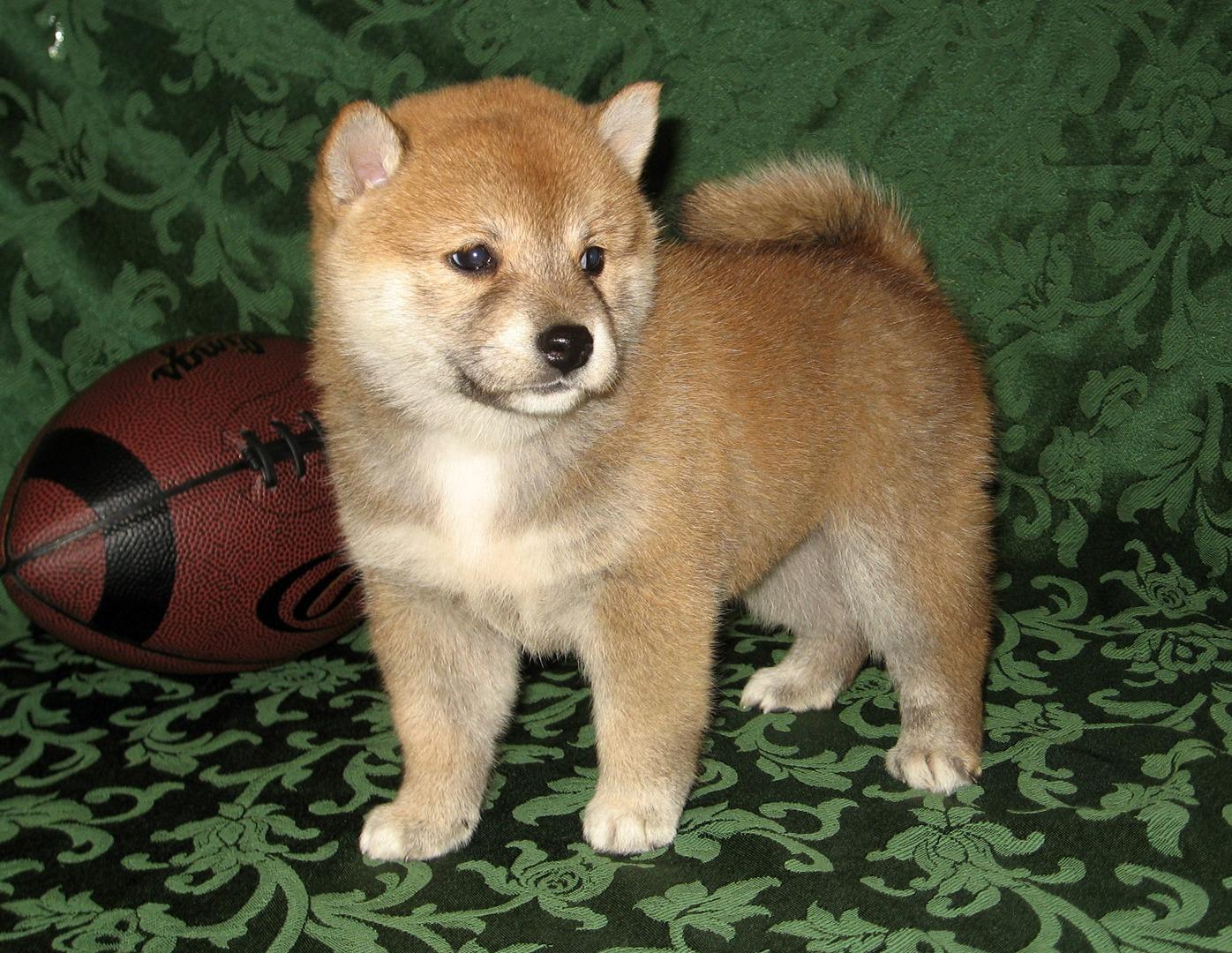 Purebred Shiba Inu puppies for sale, Shiba Inu Breeder