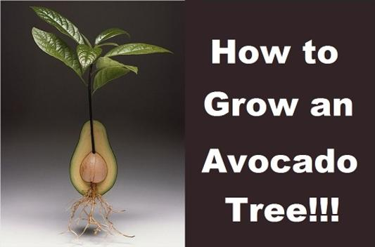 how to grow an avocado tree from pit. Black Bedroom Furniture Sets. Home Design Ideas