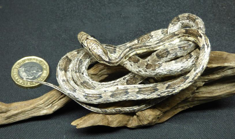 Adrian Johnstone, Professional Taxidermist since 1981. Supplier to private collectors, schools, museums, businesses and the entertainment world. Taxidermy is highly collectible. A taxidermy stuffed Corn Snake (39), in excellent condition.