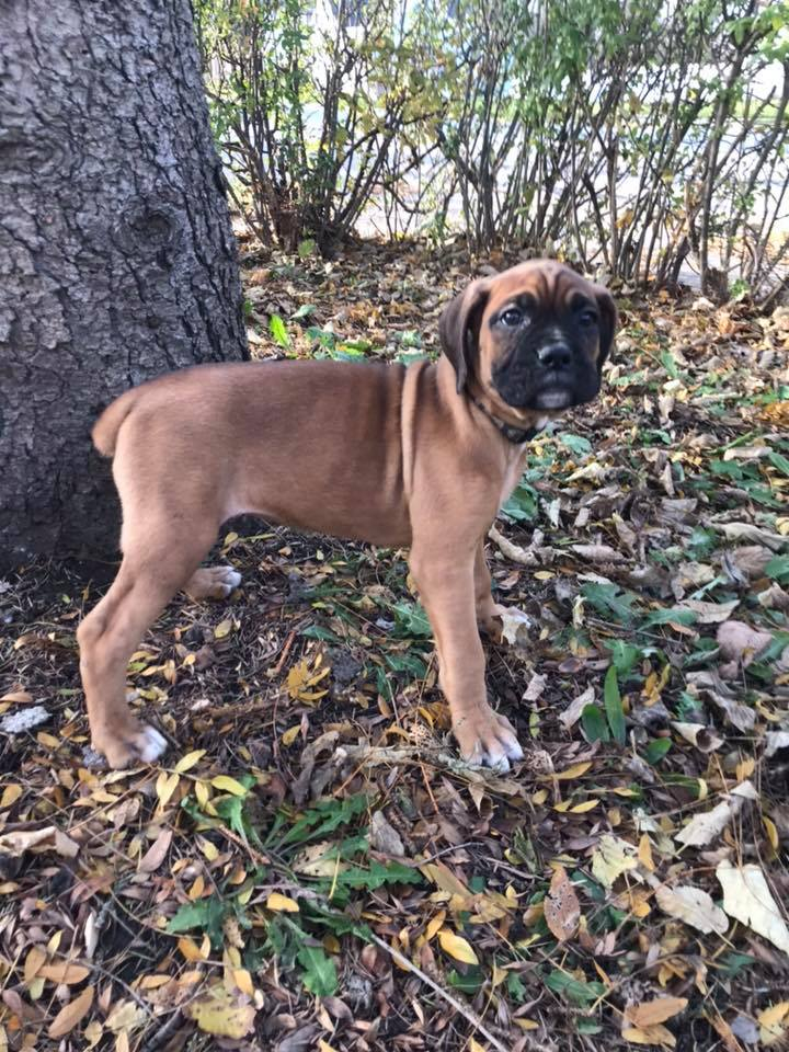 Kys Boxers Boxer Puppies For Sale Boxer Puppies Puppies For Sale