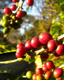 ripe coffee cherries on vine