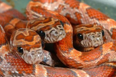 Corn Snake Care Sheet