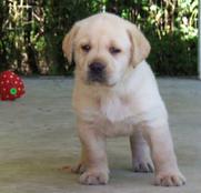 Labrador Retriever Puppies - Southern Palms Kennel