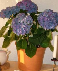 Blue Hydrangea Garden plants-the little flower shop florist garden shop garden centre online