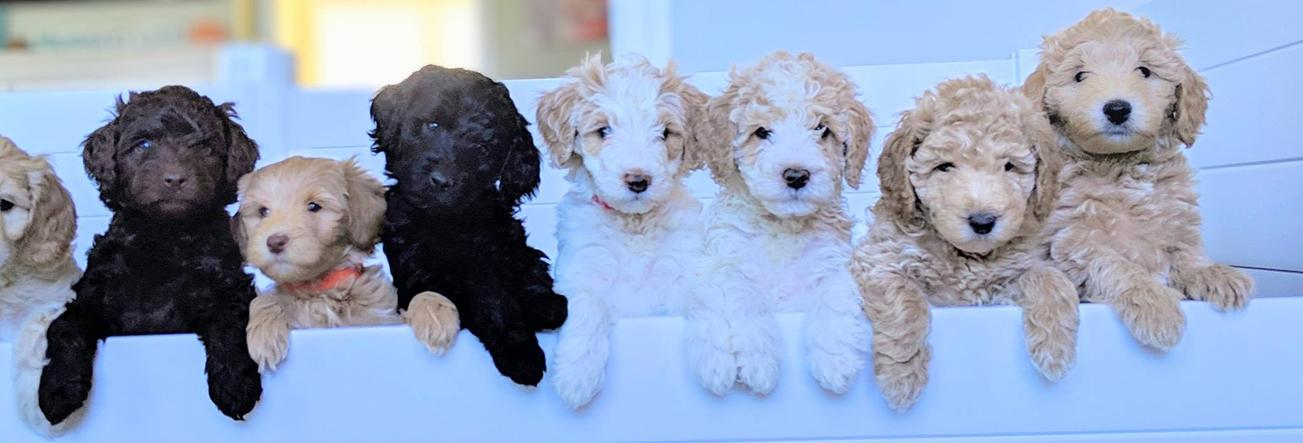Back Bay Doodles Labradoodle Puppies For Sale Double