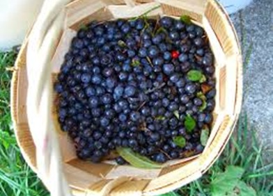 U-Pick Organic Blueberry Farm | Blue Bayou Farms | Yalaha, FL | (352) 324-4069