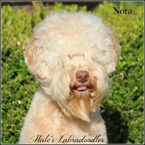 Hale's Australian Labradoodle named Nora