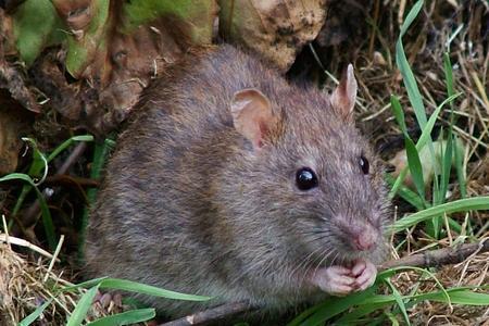 tác hại của chuột với ô tô