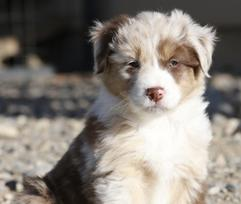 Australian Shepherd Breeders - Out West Aussies