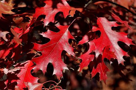 Buy Spanish Oak Tree In Helotes Wilson Landscape Nursery