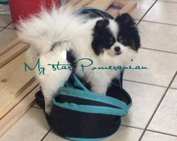 Black Female Pomeranian-My Star Pomeranians