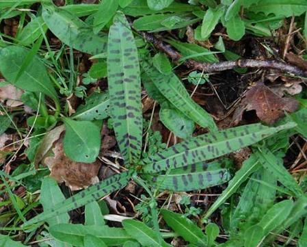 France-Common-spotted-orchid-leaves