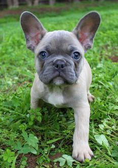One of our French bulldogs for sale in San Diego, CA
