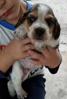 Beagle Puppies For Sale Tampa Fl Akc Beagles Tampa Florida