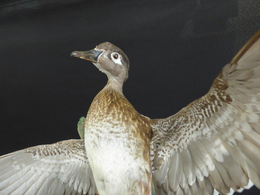 Adrian Johnstone, Professional Taxidermist since 1981. Supplier to private collectors, schools, museums, businesses and the entertainment world. Taxidermy is highly collectible. A taxidermy stuffed adult Wood Duck (9260) in excellent condition.