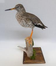 Adrian Johnstone, professional Taxidermist since 1981. Supplier to private collectors, schools, museums, businesses, and the entertainment world. Taxidermy is highly collectable. A taxidermy stuffed Redshank (9951) in excellent condition. Mobile: 07745 399515 Email: adrianjohnstone@btinternet.com