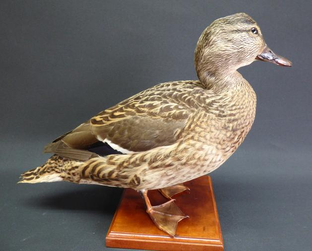 Adrian Johnstone, professional Taxidermist since 1981. Supplier to private collectors, schools, museums, businesses, and the entertainment world. Taxidermy is highly collectable. A taxidermy stuffed Mallard Duck, in excellent condition.