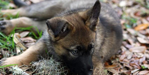 German Shepherds For Sale German Shepherds Florida