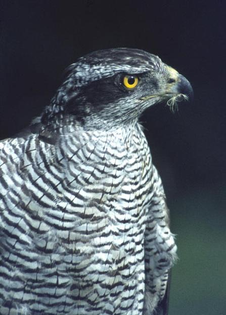 Goshawk-in-France