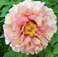 Theresa Ann Tree Peony at Peony Farm, WA