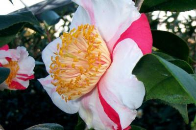 All About Camellias