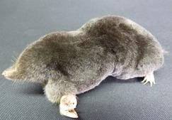 Adrian Johnstone, Professional Taxidermist since 1981. Supplier to private collectors, schools, museums, businesses and the entertainment world. Taxidermy is highly collectable. A taxidermy stuffed Mole (22), in excellent condition.
