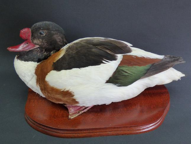 Adrian Johnstone, professional Taxidermist since 1981. Supplier to private collectors, schools, museums, businesses, and the entertainment world. Taxidermy is highly collectable. A taxidermy stuffed drake Shelduck, in excellent condition.