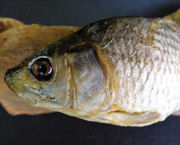 Adrian Johnstone, professional Taxidermist since 1981. Supplier to private collectors, schools, museums, businesses, and the entertainment world. Taxidermy is highly collectable. A taxidermy stuffed young Common Carp (76), in excellent condition.