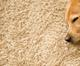 Houston Carpet cleaning Pet friendly