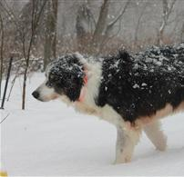 Geese Police of Western Pennsylvania PA boarder collie stalking canada geese in snowy woods