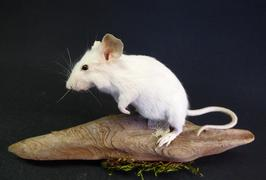 Adrian Johnstone, Professional Taxidermist since 1981. Supplier to private collectors, schools, museums, businesses and the entertainment world. Taxidermy is highly collectable. A taxidermy stuffed White Mouse (32) in excellent condition.
